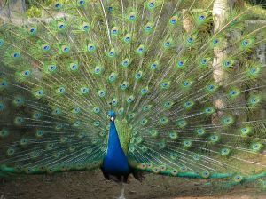 Peacock with fanned tail feathers - Catholic christian symbolism